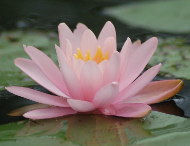 Embodied anatomy and yoga retreat pink lotus flower mightylinksfo
